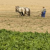 foto of horse plowing  - view of a Horse working in the field - JPG