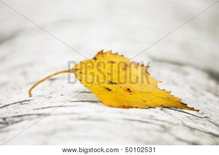 Yellow Birch Leaf On Birch Trunk