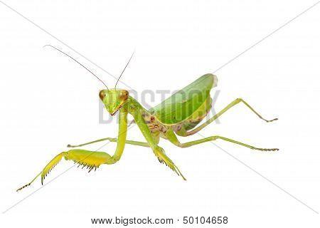 Female European Mantis