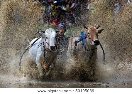 SUMATERA - AUGUST 24: An unidentified jockey steers two bulls across the muddy paddy fields in the bull race of the 'Pacu Jawi' festival on August 24, 2013 in Batu Sangkar, West Sumatera, Indonesia.