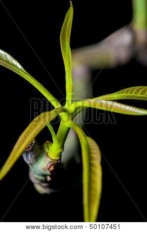 Close Up, Green Leaves, Young Soot, Sprout, Isolated On Dark Background