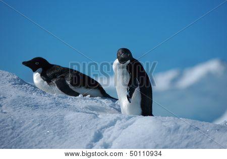 penguins Adelie, Antarctica