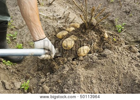 Vegetable Grower Harvesting Potato
