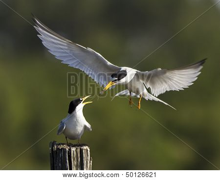 Least tern courtship