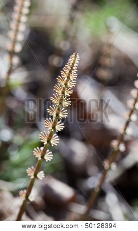 Abstract Spring Forest Nature Background With Young Horsetail