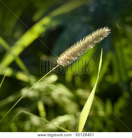 Nature Green Background With Foxtail Grass Closeup Photo