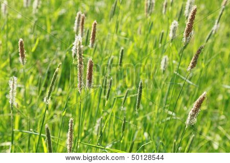 Nature Summer Background With Fresh Foxtail Grass Macro