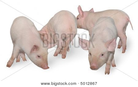 Four Pigs