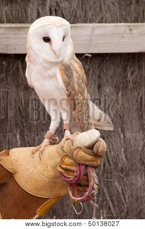 Tamed Barn Owl