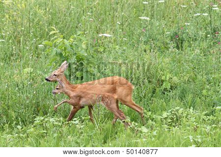 Deer Family Walking Among The Grass