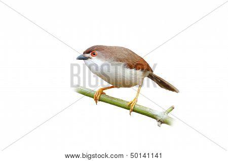 Chestnut Capped Babbler Timalia Pileata