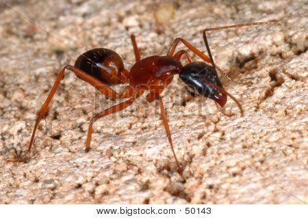 Tiro de macro de un Ant....