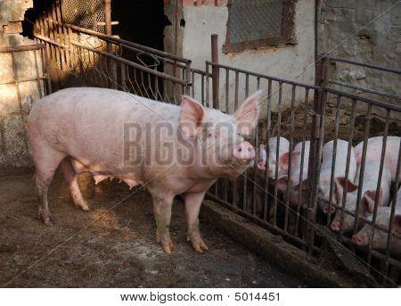 Schweine auf Ackerland