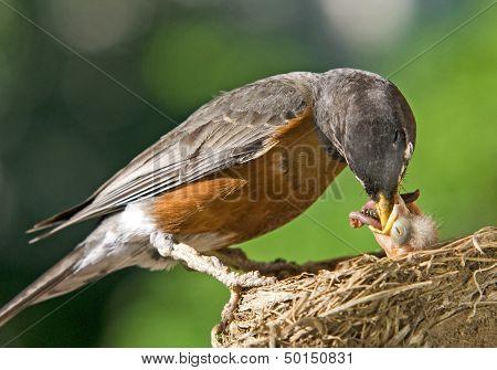 Mother Robin Feeding Baby