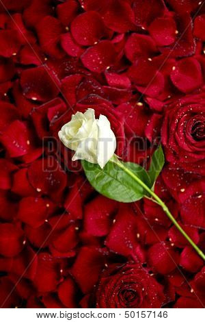 White Rose On Red Petals