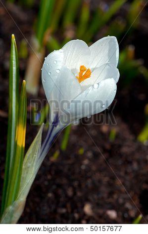 The White Crocus (Crocus Sativus) Flowering