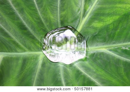 Drop On Colocasia Leaf