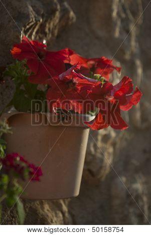 Petunia Hanging Cache-pot