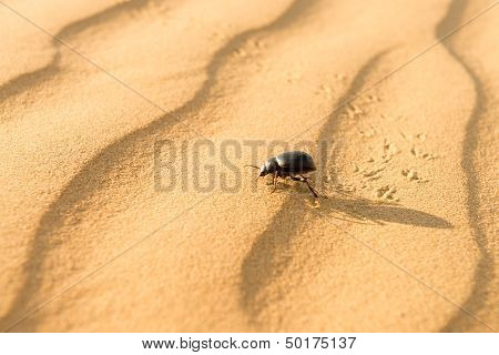 Scarab On Sand Dune In Desert