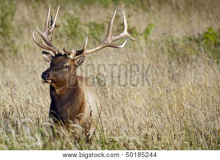 Elk In Grass