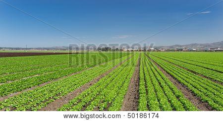 Lettuce Field Panorama
