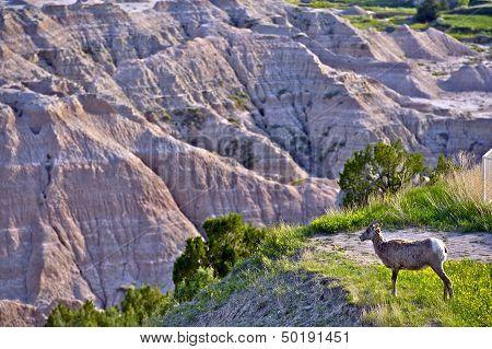 Badlands Wildlife Animals