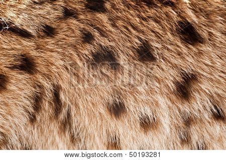 Lynx Coat Closeup