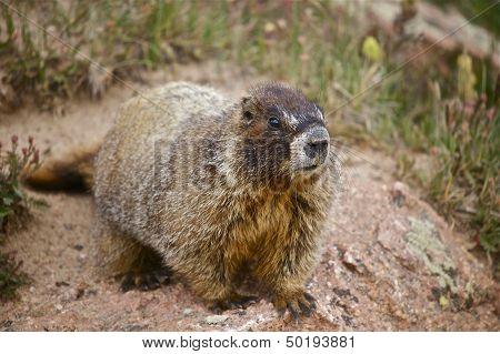 Whistle Pig - Marmot