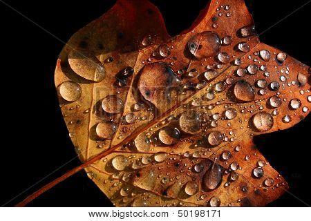 Autumn Leaf - Morning Dew on Black