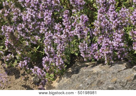 Large Thyme