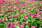 picture of pubic  - Fields of Pink Gerbera flower in pubic park - JPG