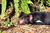 picture of taz  - Tasmanian Devil basking in the Sun - JPG