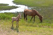 stock photo of mare foal  - A mare and a newborn foal in the swamp area on Assateague Island - JPG