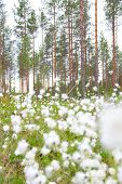 foto of laplander  - Blooming white flowers of Cottongrass in Lapland pine forest - JPG