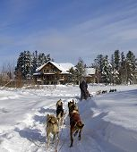 foto of sled-dog  - dog sledding in a forest at winter - JPG