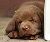 picture of chocolate lab  - Sleeping chocolate lab puppy - JPG