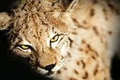 stock photo of taxidermy  - Close up of Wild Lynx Taxidermy on black background