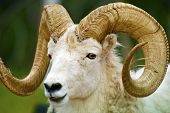 foto of sheep  - Dall Sheep Closeup  - JPG