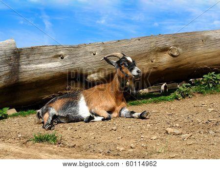 Natura, Farm,young Goat,