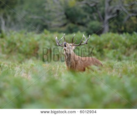 Red Deer Stag Roaring During The Rutting Season