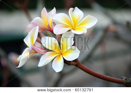 Frangipani Flower Scent of Asian exotic flower