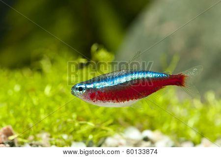 Cardinal Tetra Neon fish