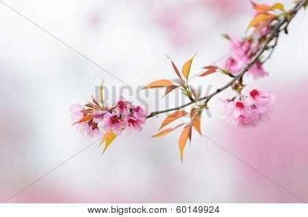 Wild Himalayan Cherry Flower Thai Sakura Blossom