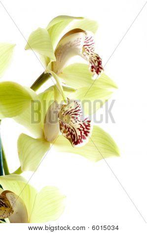 Orchidee Pflanze cymbidium