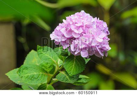 Pink Hydrangea Flower On Blur Background