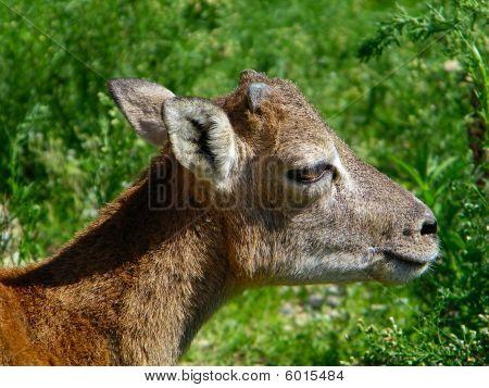 Ovis Orientalis Musimon (muflone Sardo)