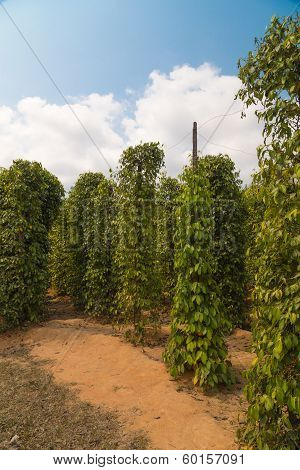 Pepper Plantation, Vietnam