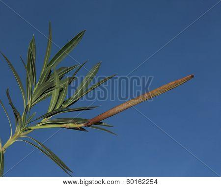 Oleander Capsule
