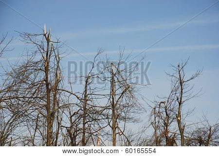 Rime Damaged Trees
