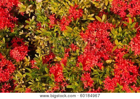 Blooming Red Ixora Flowers